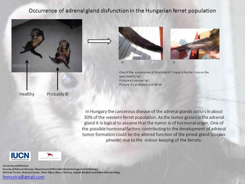 Occurrence of adrenal gland disfunction in the Hungarian ferret population